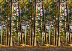 VENTA Exclusive «Сосновый лес» - 1